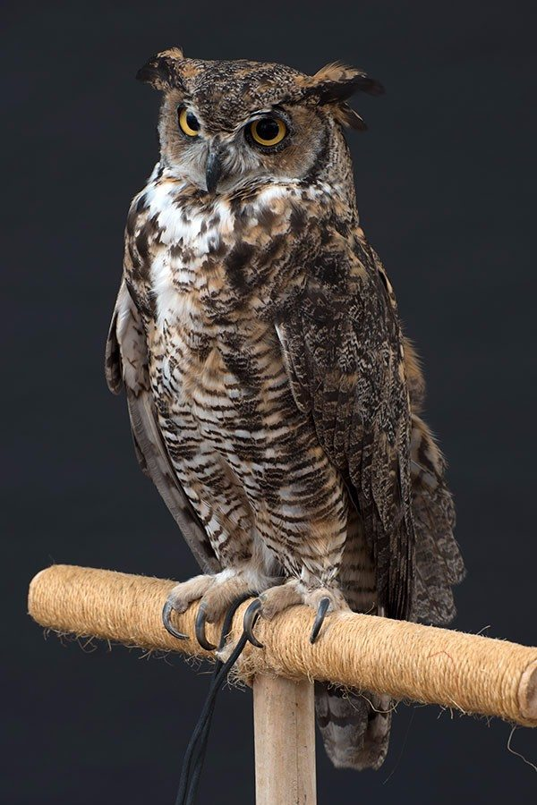 Teasdale the great horned owl
