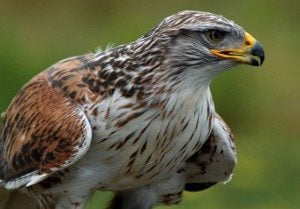 Ferruginous hawk. Weather Underground photo.