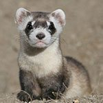 Spring into Yellowstone: Black-footed ferret