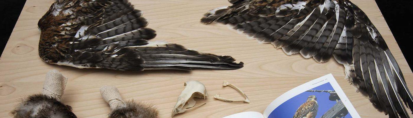Ferruginous hawk. Scientific name: Buteo regalis. Received from U.S. Fish and Wildlife Service. NH.304.37