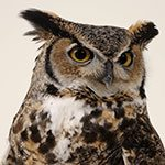 Spring into Yellowstone: Great-horned owl