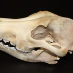 A Treasure from Our West: Gray wolf skull. DRA.305.71