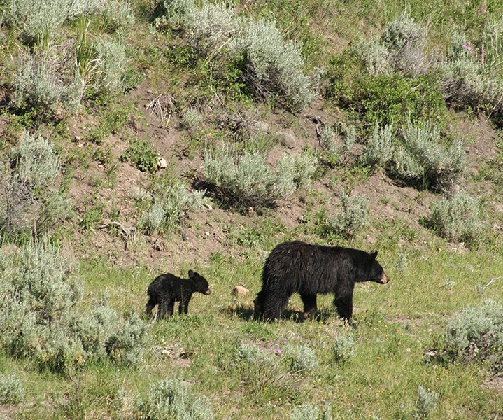 You may see grizzly or black bears in Yellowstone National Park, like this black bear mother and cub.