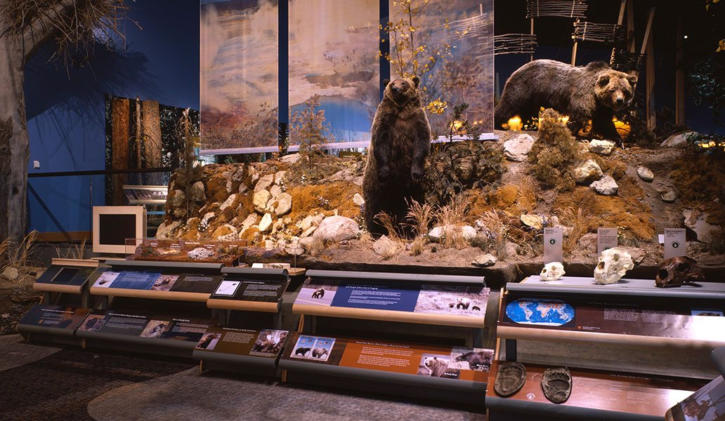 Bear exhibit in the Draper Natural History Museum, with grizzly bear specimens