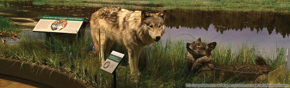 This wolf display greets visitors to our Draper Natural History Museum, 2015