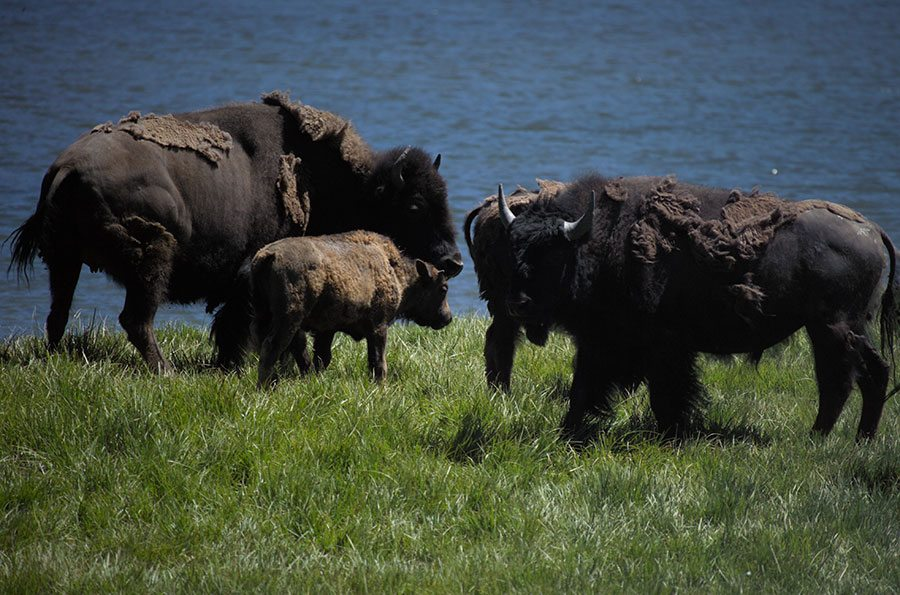 Points West: An Ecological Profile of the North American Bison
