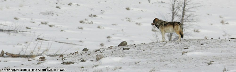 Wolf in Yellowstone in winter. NPS photo by Jim Peaco, 2006