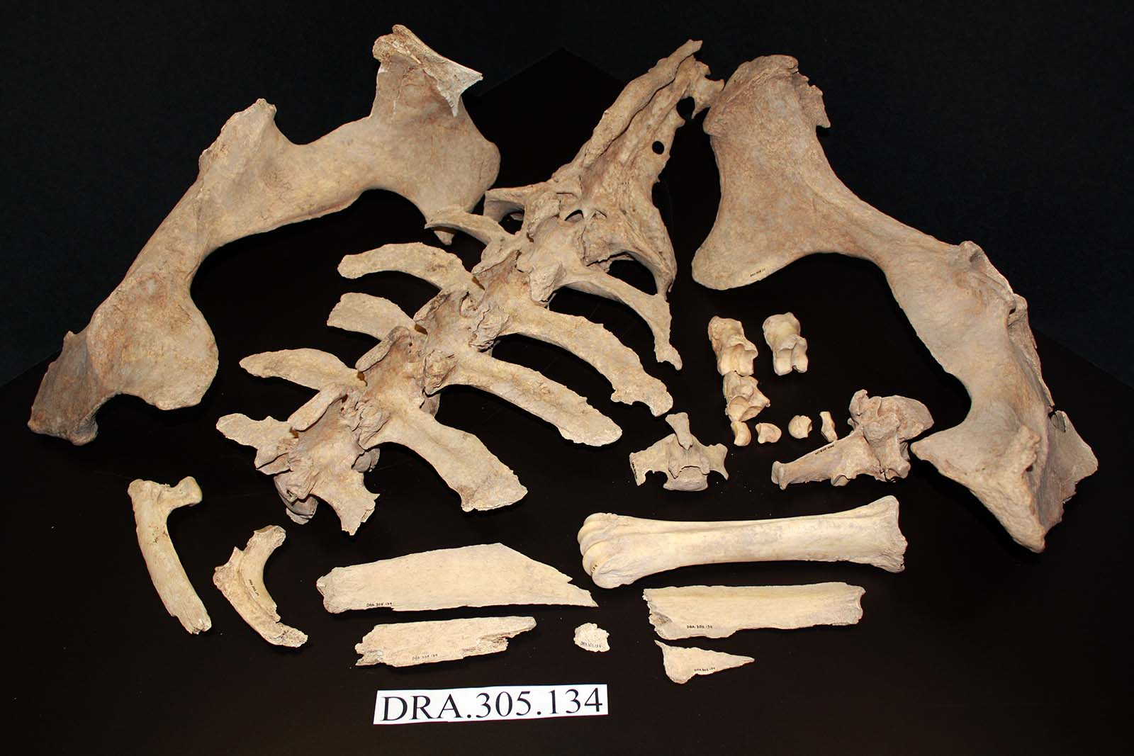 A Treasure from Our West: Partial bison skeleton. DRA.305.134