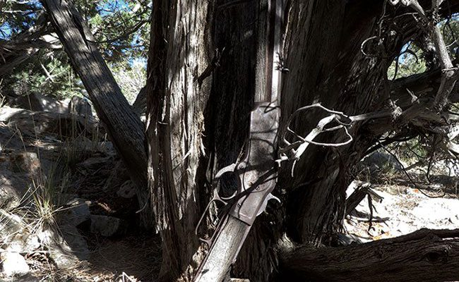The Winchester 1873 propped against a juniper tree in Great Basin National Park where it went undiscovered for 132 years.