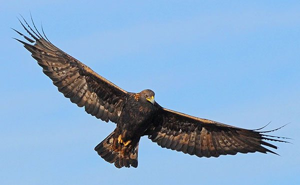 Points West blog 098: A golden eagle's wingspan may exceed seven feet. Photograph by Keith Cauley.