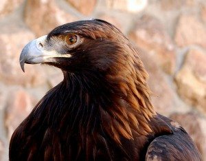 The Center of the West's resident golden eagle, Kateri, teaches audiences the importance of wildlife conservation.