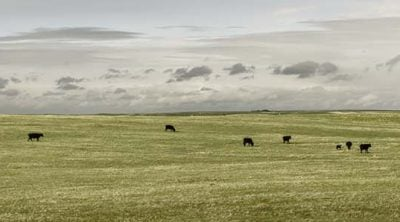 Cows in Laramie County, May 20, 2013. William Sutton photo. (detail)