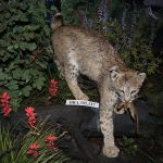 Treasures from Our West: Bobcat