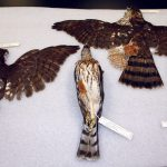 Four Cooper's hawks. DRA.304.182, 183, 185, 186
