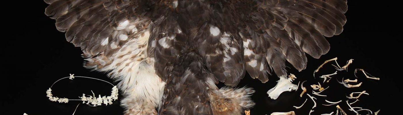 Cooper's hawk specimen. DRA.304.185