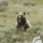 Points West Online: On the Trail of a Bear Named Wahb