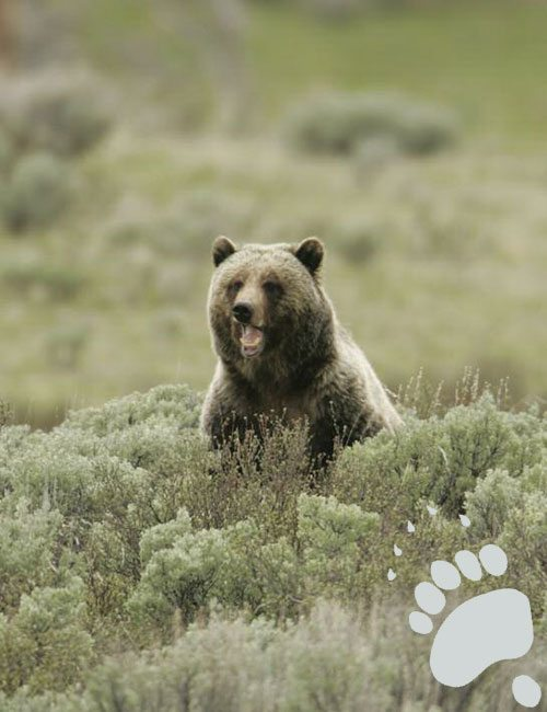 A Yellowstone National Park grizzly bear. National Park Service photo by Jim Peaco, 2005.
