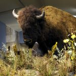 A Treasure from Our West: American bison. DRA.305.89