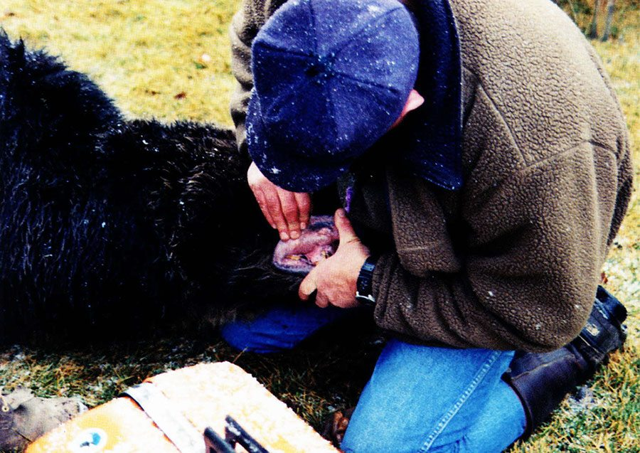 Mark Bruscino searches for a lip tattoo identification number on a nuisance bear. Photo by Valarie Hamm.