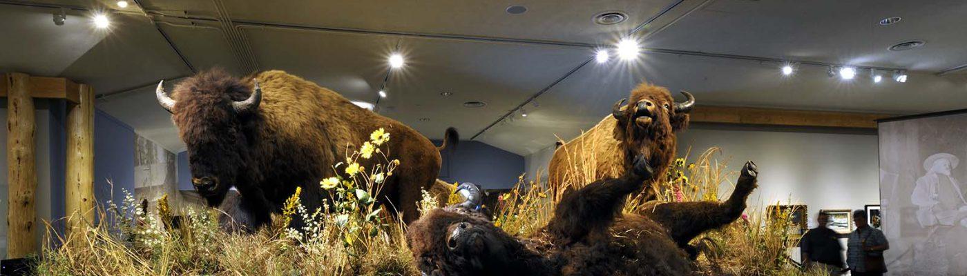 American bison. DRA.305.89