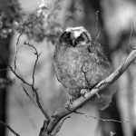 A Treasure from Our West: Image of an immature great horned owl. PN.89.43.9048.1