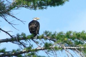 Bald eagles aren't bald, their feathered heads are white.  They are our national bird.                                         Of course you knew that, right?