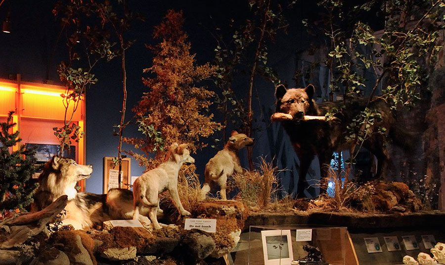 """A wolf """"family"""" in the Draper Natural History Museum. """"Family Ties"""" Family Fun Day explores family interactions in the animal kingdom."""