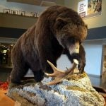 A Treasure from Our West: log 134: Grizzly bear. DRA.305.159