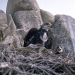 Treasures from Our West: Photo, golden eagle chicks