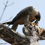 Gross and Interesting Facts About Peregrine Falcons