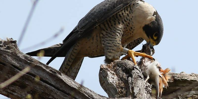 Peregrine Falcon eating its prey.