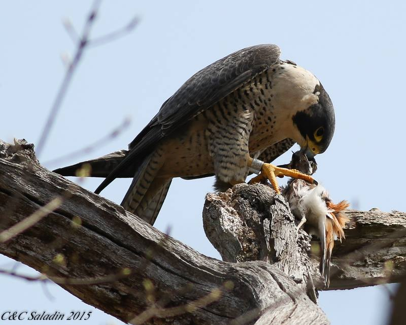 Peregrine Falcon eating its prey.