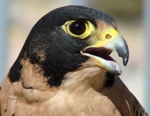 Peregrine falcon showing tomial tooth in upper beak and groove in lower.