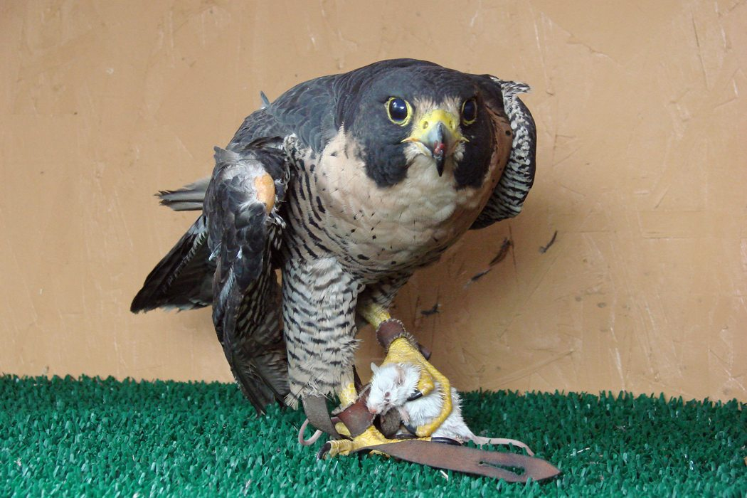 Peregrine holding mouse in talons.