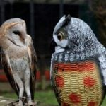 Barn owl looking at fake owl.