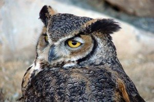 Teasdale, Our Great Horned Owl.