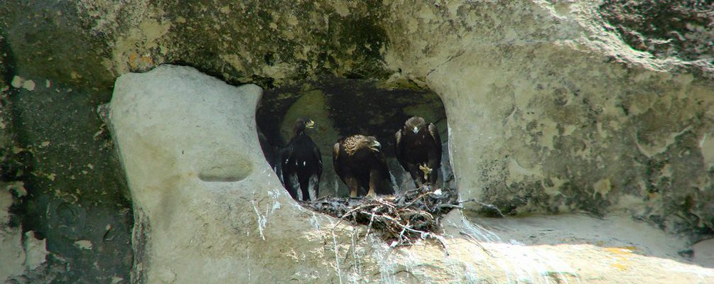 Golden eagle nest with on chick, and both parents.