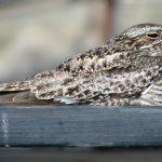 Common Nighthawk Resting on Our Gazebo Railing