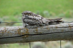 Common Nighthawk Spending the Day Resting on a Fence Railing