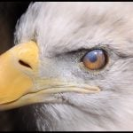 Bald Eagle with closed nictitating membrane.