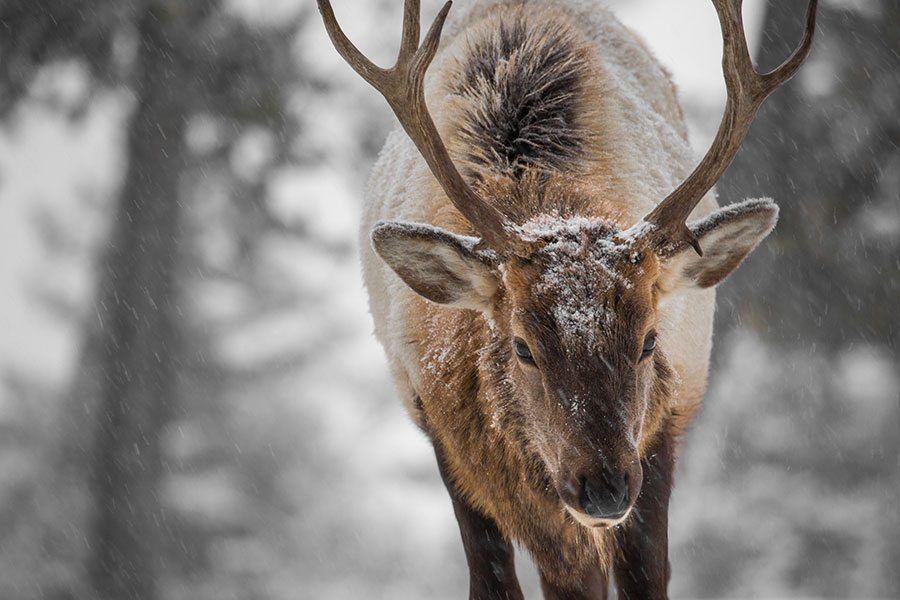 Yellowstone elk, December 15, 2015. NPS photo. YNP Facebook page.