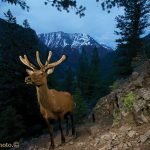 Joe Riis Elk Camera Trap