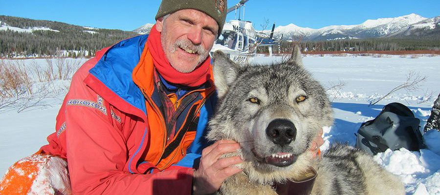 Yellowstone's Senior Wildlife Biologist Doug Smith in the field with a collared wolf.