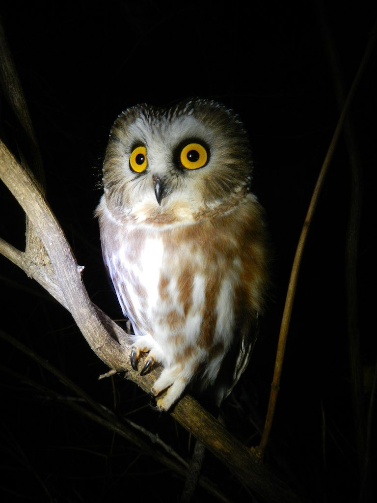 An Adult Saw-whet Owl Perched On a Branch At Night