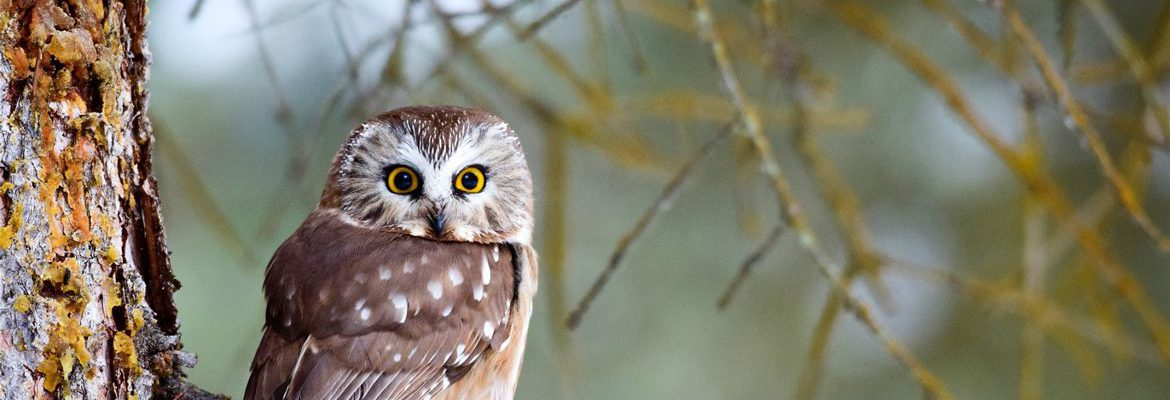 A Saw-whet Owl Roosting in a Tree