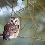My Favorite Interesting Facts About Northern Saw-whet Owls