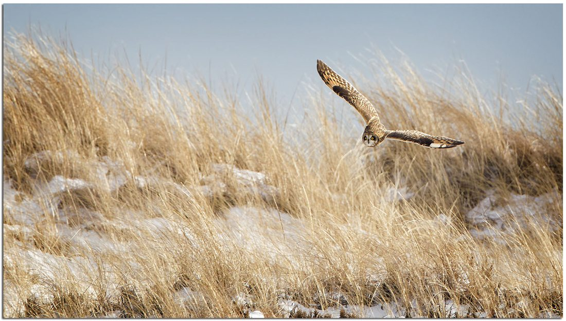 A Short-eared Owl flying low over tall grass in the winter time.