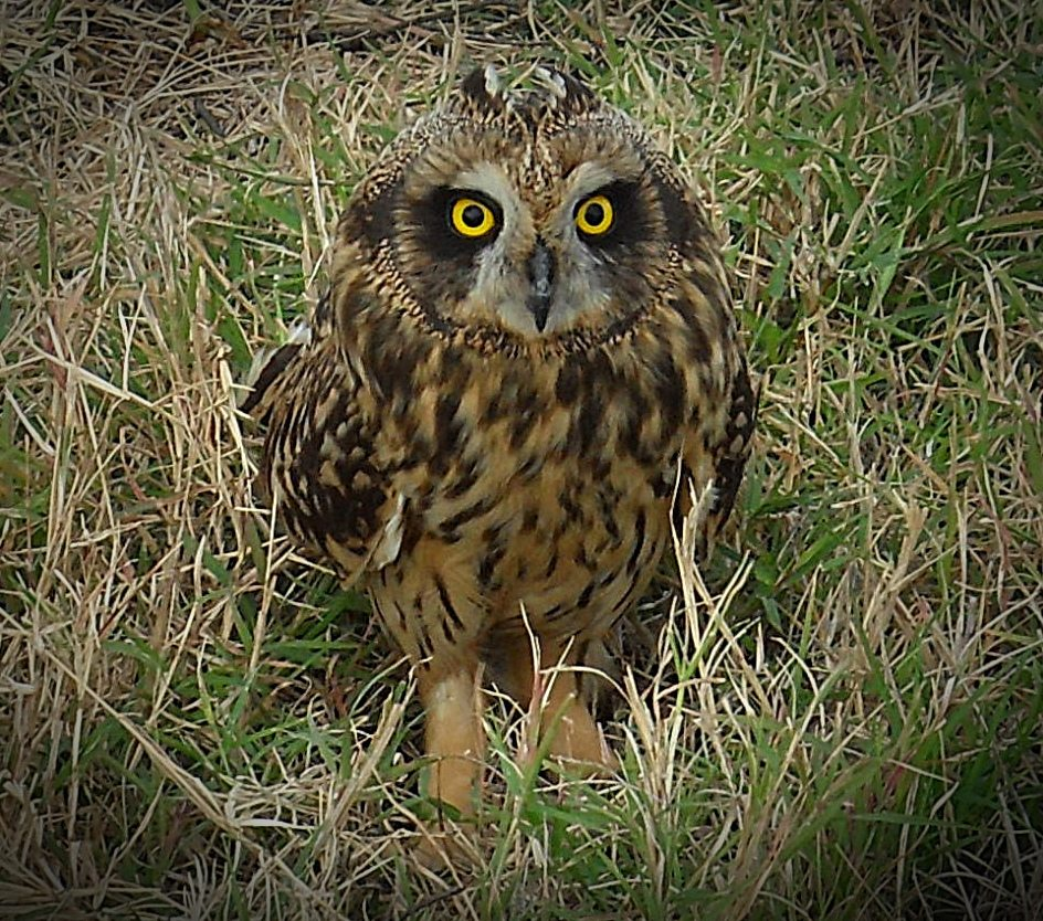 A Short-eared Owl standing in the grass.