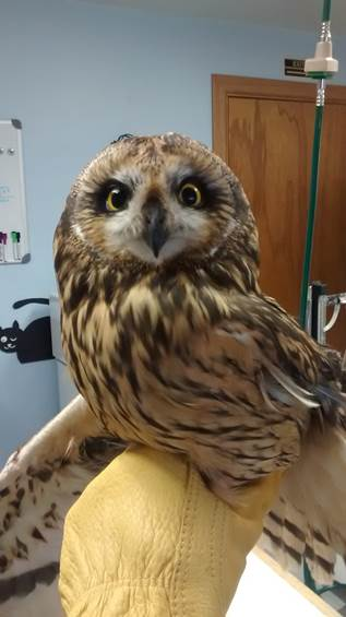 Amelia, The Draper Museum Raptor Experience's Short-eared Owl sits on a gloved hand.