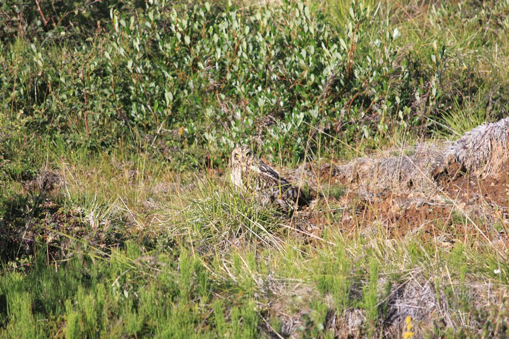 A Short-eared Owl partially camouflaged by grass, as it stands on the ground.